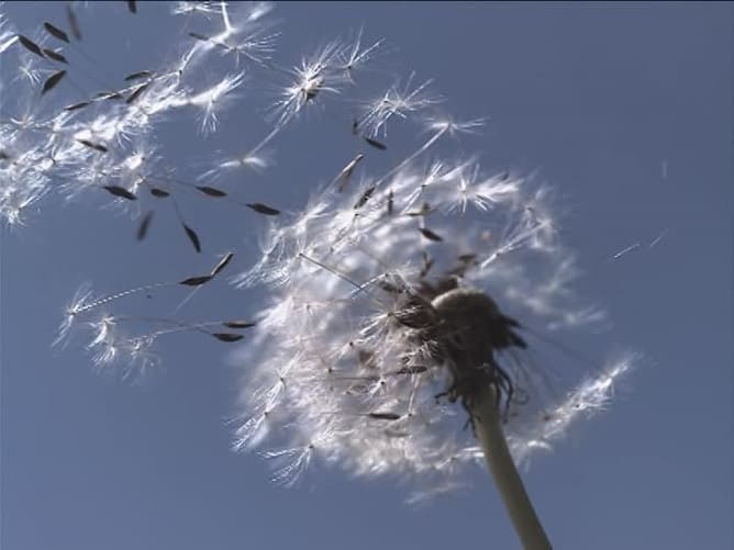 Meaning of Dandelion