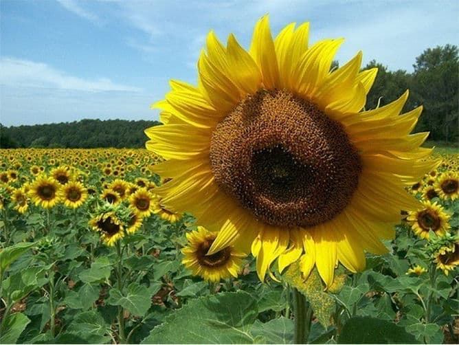 Meaning of Sunflowers