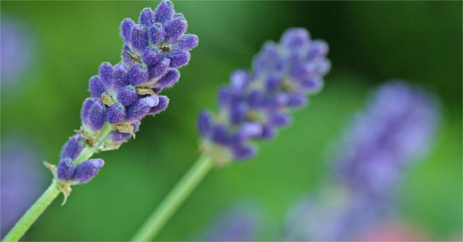 Meaning of the Lavender flower