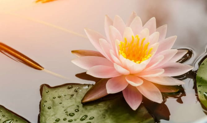 Meaning of the Lotus Flower