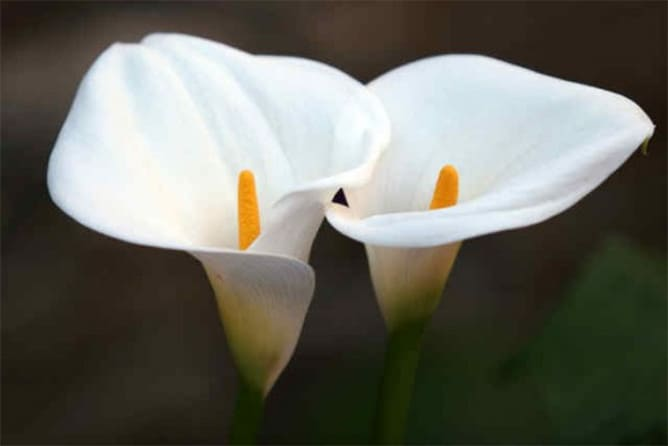 Meaning of the Cala flower