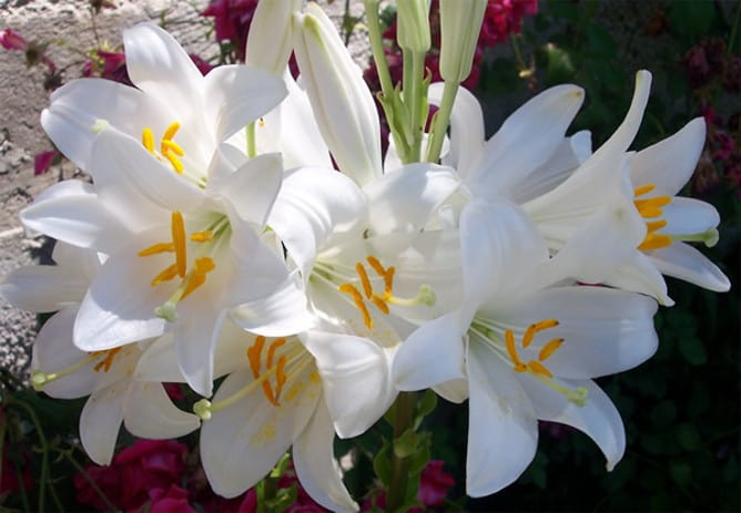 Meaning of the Lilies