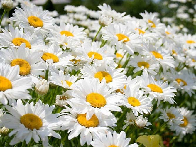 Meaning of Daisies
